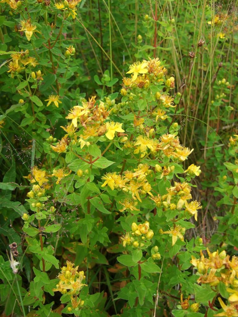 plantas antidepresivas naturales